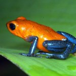 Orange blue Poison Dart Frog , 6 Poisonous Dart Frog In Amphibia Category
