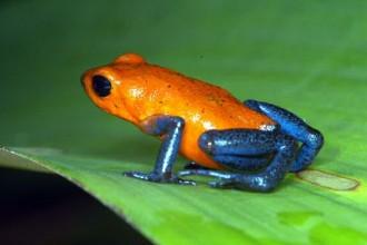 Orange Blue Poison Dart Frog , 6 Poisonous Dart Frog In Amphibia Category
