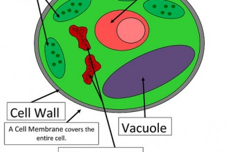 Parts Of Plant Cell , 5 Parts Of Cell Pictures In Cell Category