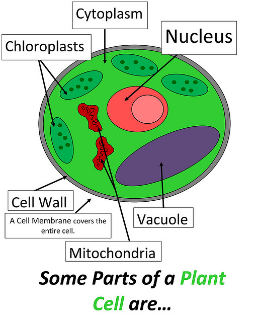Cell , 5 Parts Of Cell Pictures : Parts Of Plant Cell
