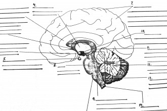 Parts Of The Brain Diagram Quiz , 4 Human Brain Diagram Quiz In Brain Category