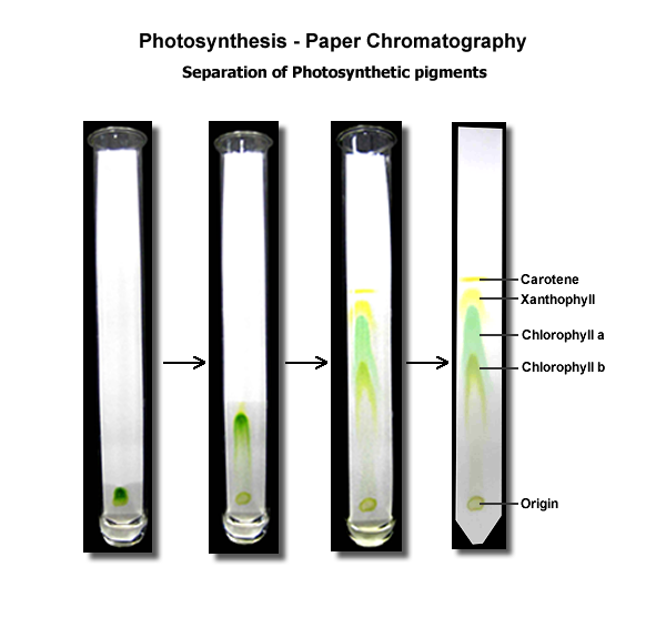 separation of photosynthetic pigments by paer chromatography essay Hplc analysis of caffeine essay  stands for high performance liquid chromatography but is also referred  separation of photosynthetic pigments by paer.
