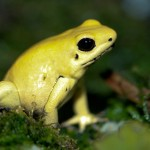 Phyllobates terribilis , 5 Poison Dart Frog Facts In Amphibia Category