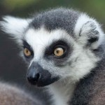 Pictures of Ring Tailed Lemurs , 6 Ring Tailed Lemur Facts In Mammalia Category