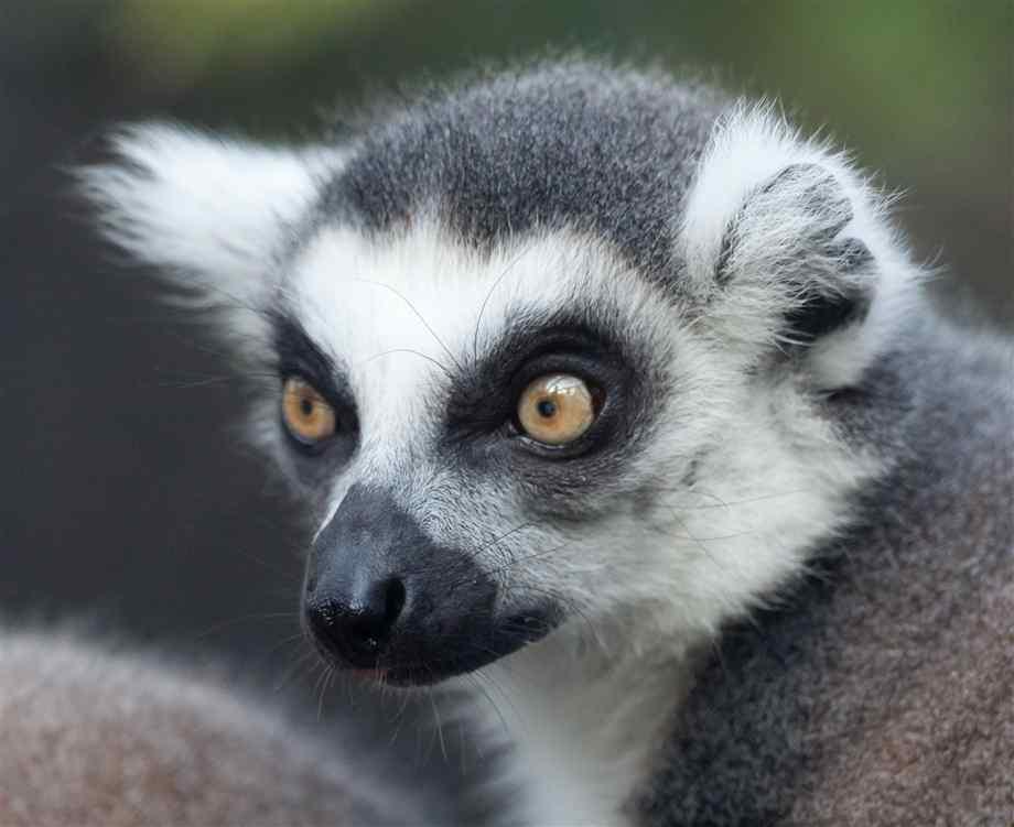 Ring Tailed Lemur Biome