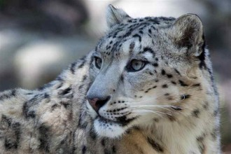 Pictures of Snow Leopards in Plants