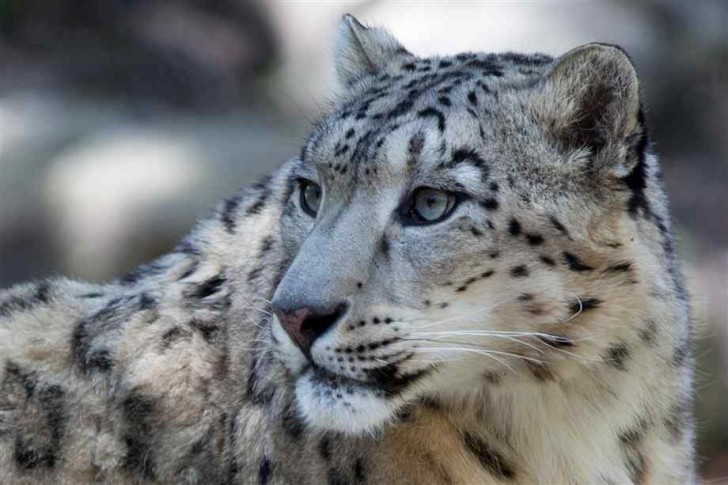 Mammalia , 7 Pics Of Snow Leopards : Pictures Of Snow Leopards