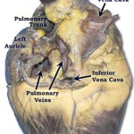 Pig Heart Diagram Labeled , 4 Fetal Pig Dissection Lab Simulator In Organ Category