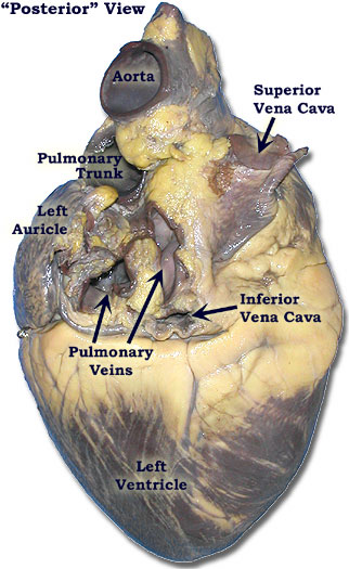 Organ , 4 Fetal Pig Dissection Lab Simulator : Pig Heart Diagram Labeled