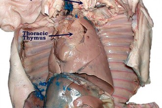 PigGlands labeled in Organ