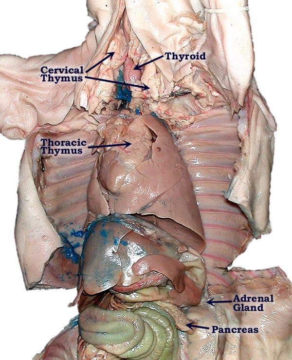 Organ , 4 Fetal Pig Dissection Lab Simulator : PigGlands Labeled