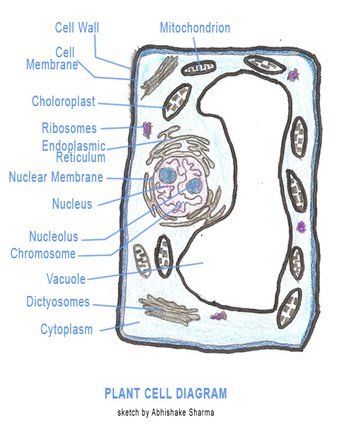 Cell , 5 Plant Cell Activities For Kids : Plant Cell Model Project Kids