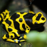 Poison dart frog , 6 Poisonous Dart Frog In Amphibia Category