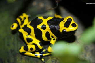 Poison dart frog in Birds