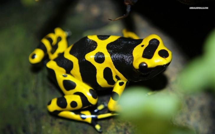 Amphibia , 6 Poisonous Dart Frog : Poison Dart Frog