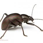 Prettiest Darkling Beetle , 6 White Beetle Bugs In Bug Category