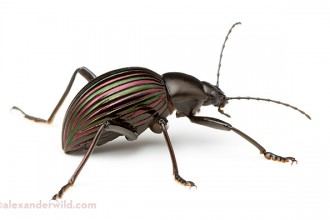 Prettiest Darkling Beetle in Animal