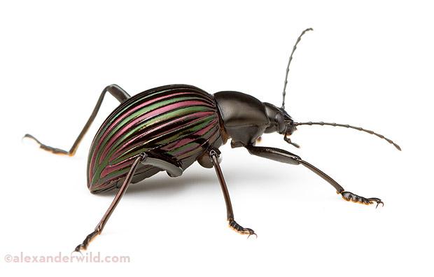 Bug , 6 White Beetle Bugs : Prettiest Darkling Beetle