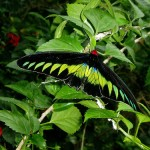 Rajah Brooke's Birdwing , 8 Cairns Birdwing Butterfly Facts In Butterfly Category