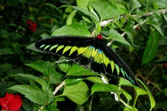 Rajah Brooke's Birdwing in Spider