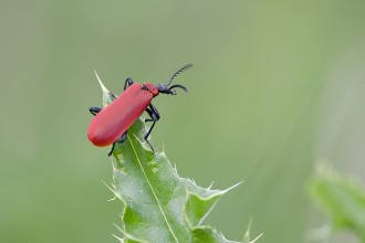 Red Beetle Bug Thing in Genetics