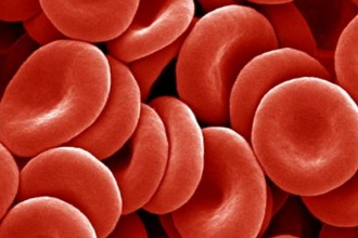 Red Blood Cells picture in Primates