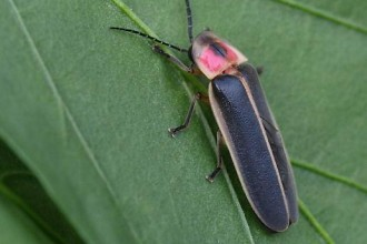 Red Headed Black Beetle , 5 Red Beetle Bug Pictures In Bug Category