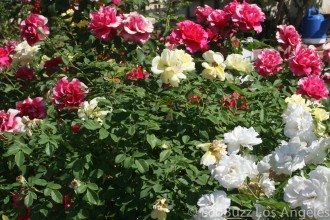 Rose Pruning Woes , 8 Pruning Wild Roses In Plants Category