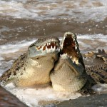 Salt Water Crocodile Facts And Pictures , 6 Saltwater Crocodile Facts In Reptiles Category