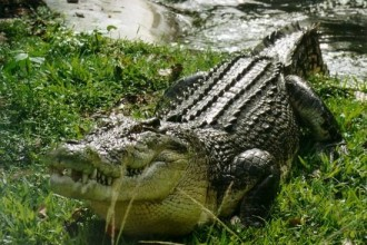 Saltwater crocodile Facts in Dog
