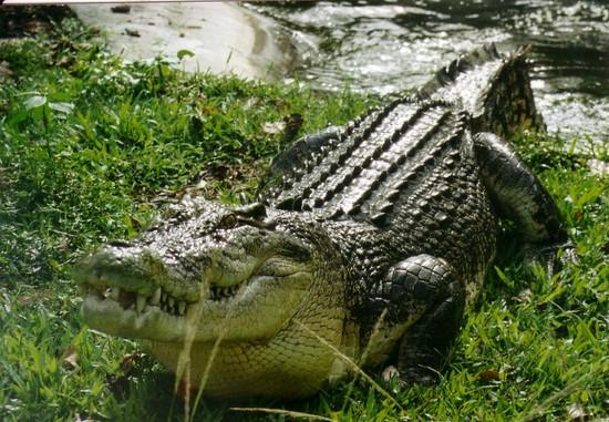 Reptiles , 6 Saltwater Crocodile Facts : Saltwater Crocodile Facts