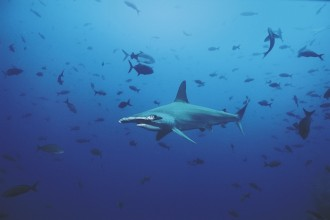 Scalloped Hammerhead Shark in Cell