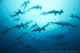 Scalloped Hammerhead Sharks , 6 Hammerhead Sharks Facts In pisces Category
