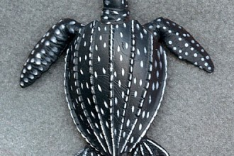Reptiles , 6 Leatherback Turtle Facts : Sea turtle facts