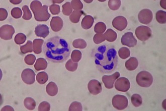 Segmented neutrophils in Dog