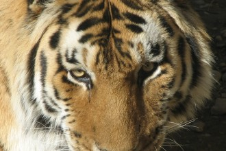 Siberian Tiger , 6 Siberian Tigers Facts In Mammalia Category