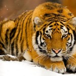 Siberian Tiger Photos , 6 Siberian Tigers Facts In Mammalia Category