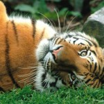Siberian Tigers Fact , 6 Siberian Tigers Facts In Mammalia Category