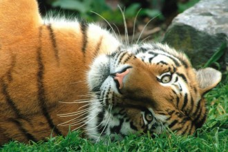 Siberian Tigers Fact in Microbes