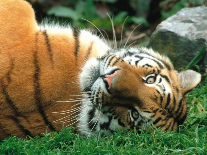 Mammalia , 6 Siberian Tigers Facts : Siberian Tigers Fact