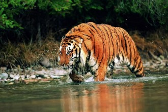 Siberian Tigers Information , 6 Siberian Tigers Facts In Mammalia Category