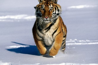 Siberian Tigers Portrait , 6 Siberian Tigers Facts In Mammalia Category