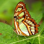 Siproeta stelenes photo , 7 Malachite Butterfly Facts In Butterfly Category