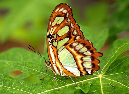 Butterfly , 7 Malachite Butterfly Facts : Siproeta Stelenes Photo