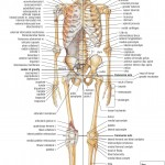 Skeletal System Front , 6 Skeletal System With Labels In Skeleton Category