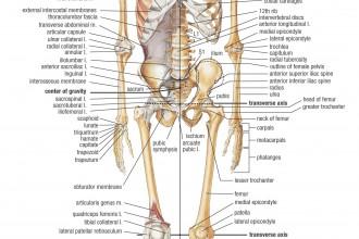 Skeletal System Front , 6 Skeletal System With Labels In Skeleton Category