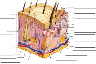 Skin Structure quiz in Organ