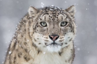 Snow Leopard in Plants