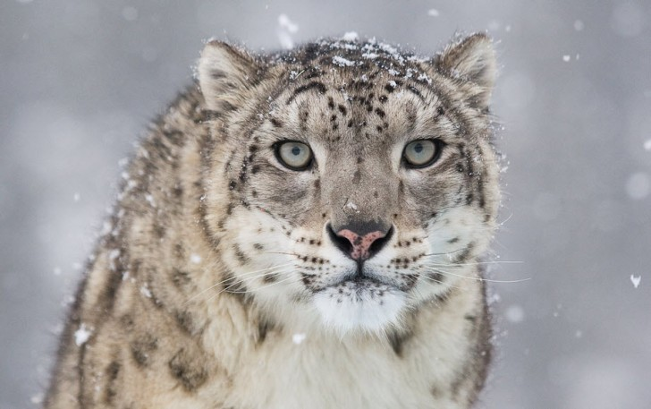 Mammalia , 7 Pics Of Snow Leopards : Snow Leopard