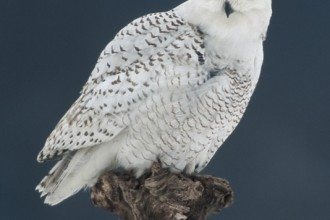 Snowy Owl in Cell